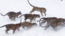China demora el comercio de productos de tigre, rinoceronte