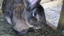 Bunny snatched: Record-holding giant rabbit stolen in UK
