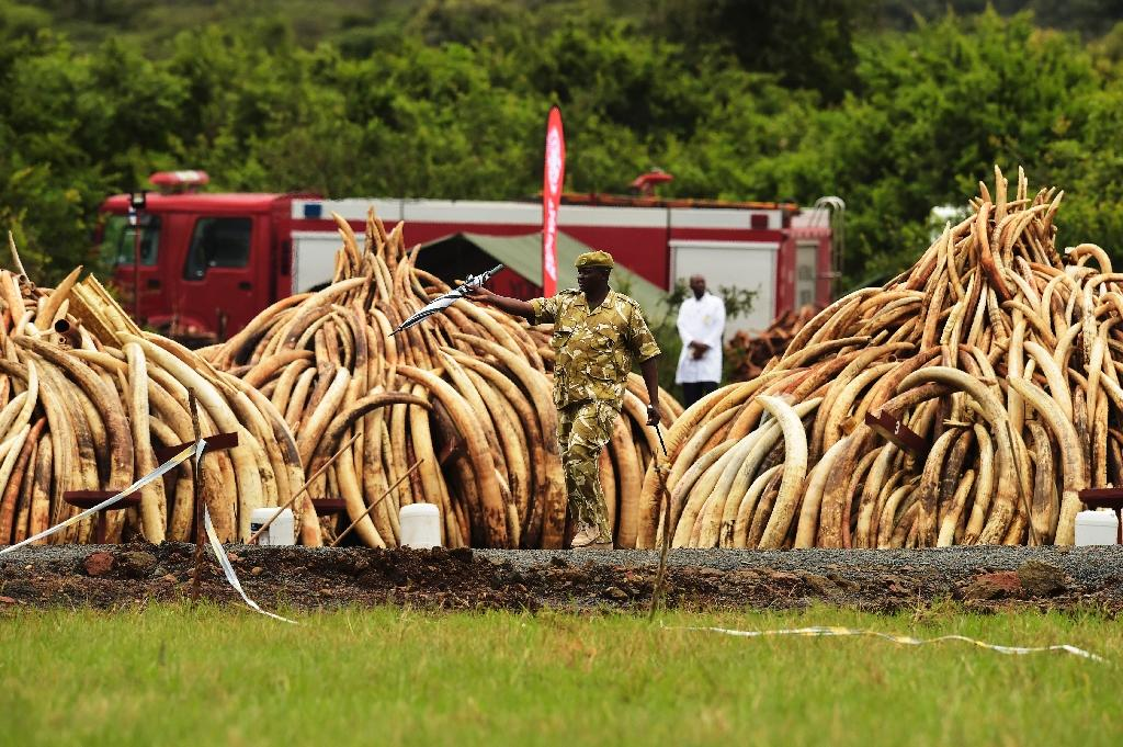 A ranger patrols near stacks of elephant tusks at the Nairobi National Park on April 30, 2016 (AFP Photo/Carl De Souza)