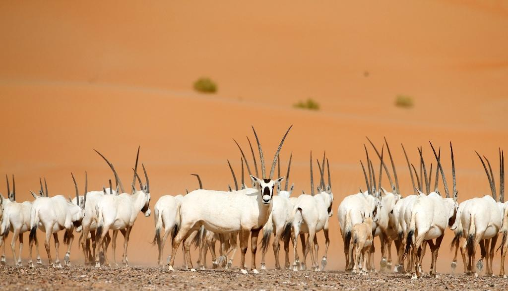 Arabian Oryx seen in a sanctuary in the United Arab Emirates, across the border from Oman where a reserve holding the rare creatures has been opened to the public (AFP Photo/KARIM SAHIB)