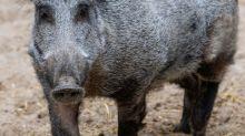 Erster Schweinepest-Fall außerhalb von bisher betroffenem Gebiet bestätigt