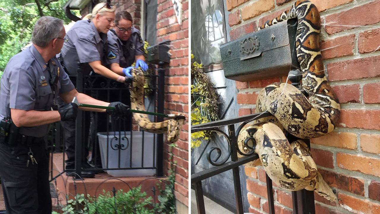 Kansas Postal Worker Finds Giant Boa Constrictor Wrapped Around Mailbox