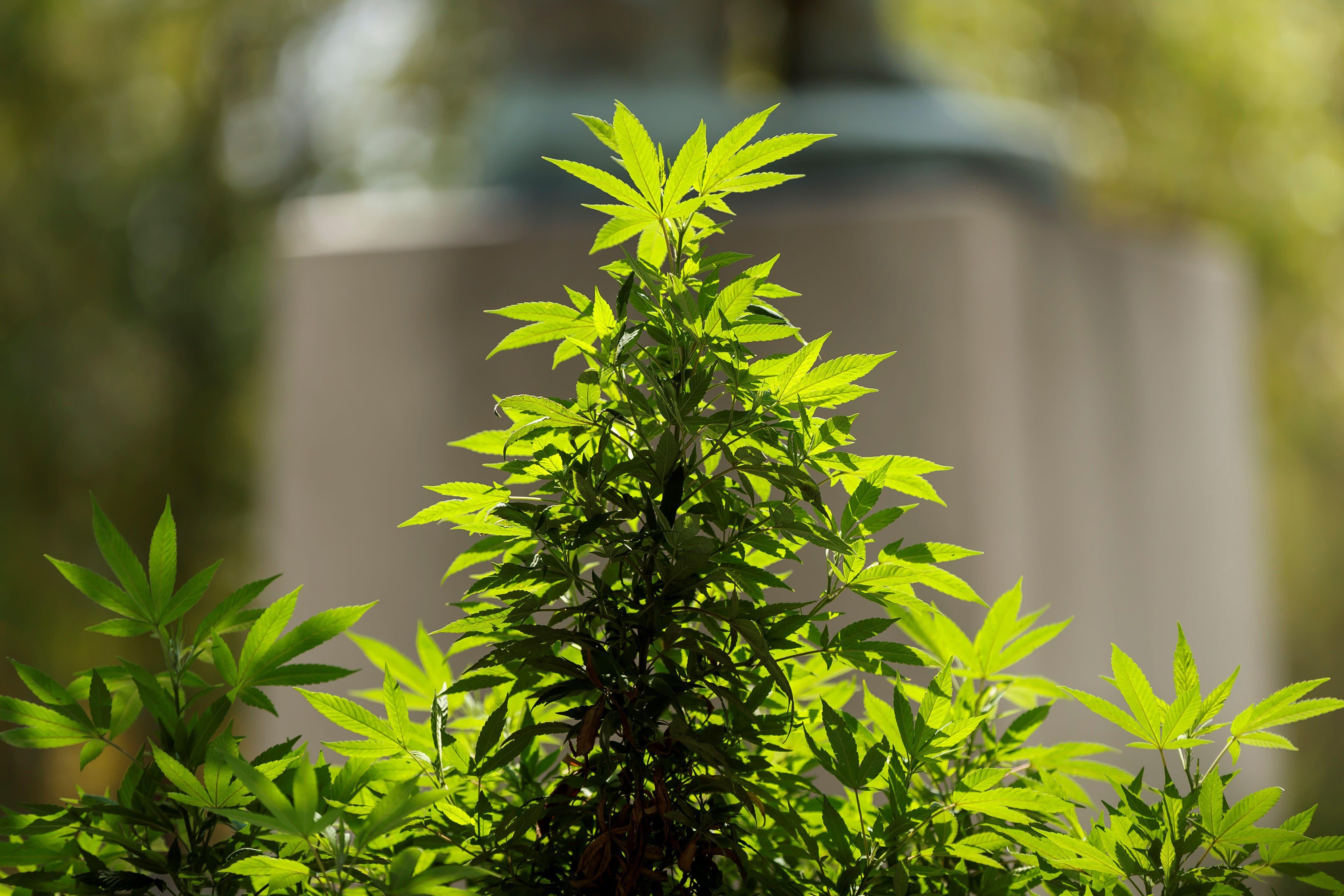 Cannabis: à contre-courant d'Emmanuel Macron, des parlementaires soutiennent la légalisation