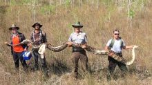 Record-Sized Mama Python Makes Hisssstory In Florida