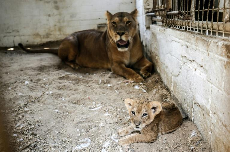 Two lions and three cubs are penned in cages only a few square metres in size at a zoo in the Gaza Strip (AFP Photo/SAID KHATIB)