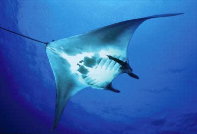 Manta Rays' Deep-Sea Secrets Revealed