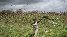 Millions of locusts are swarming all over East Africa