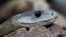 Pensa di morire per il morso di un serpente: fugge a velocità elevatissima