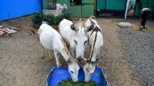Donkey diva: Singing beast of burden becomes Indian sensation