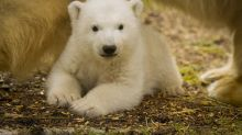 Britain's first polar bear cub for 25 years makes its first public appearance