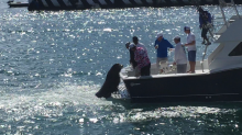 """Pancho"" the Sea Lion in Cabo Hitches a Ride on Fishing Boat for Snacks"