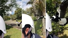 Incredible video shows dangers of magpie season