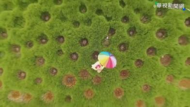 奇景!嘉義出現「洞洞草原」紅到日本