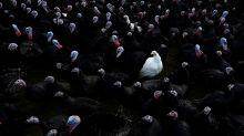 """Las aves """"de corral"""" están llenas de pesticidas"""