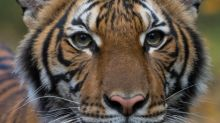 Coronavirus: un tigre d'un zoo de New York testé positif