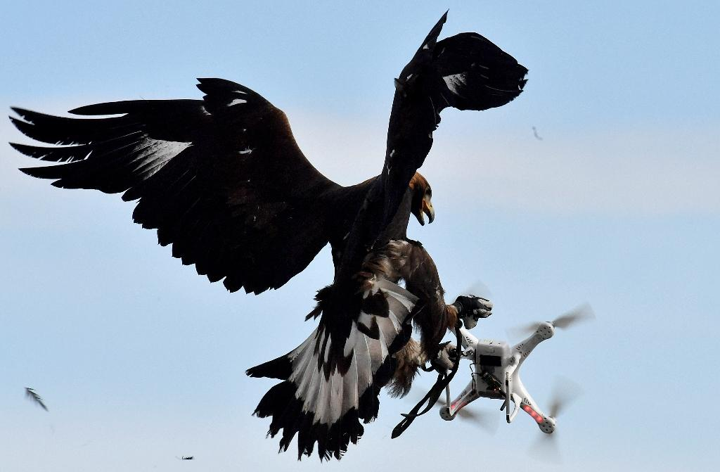 Some airports have looked at using birds of prey to tackle drones (AFP Photo/GEORGES GOBET)