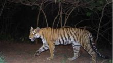 India's 2018 Tiger Census Sets Guinness Record for Being World's Largest Camera Trap Wildlife Survey