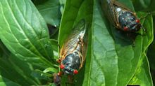 Millions of Cicadas Will Re-emerge This Year After 17 Years Underground