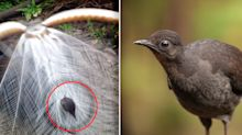 'Baby, it's dangerous': How male lyrebirds trick females into having more sex
