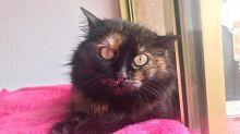 Síndrome urológico felino: Qué es y cómo curarlo