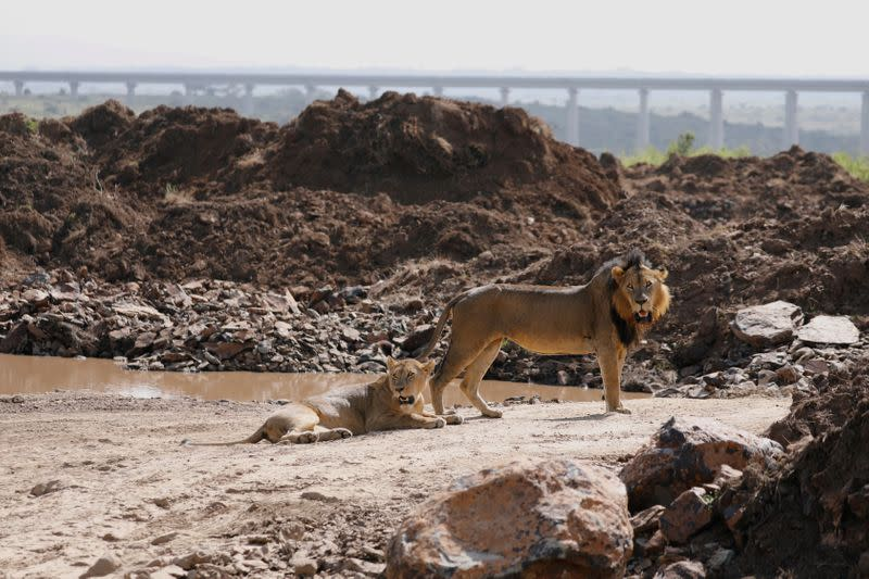 A lion and a lioness are seen after mating inside the Nairobi National Park in Kenya