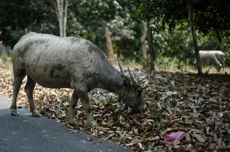 A buffalo in Temerloh, outside Kuala Lumpur. The animals are traditionally viewed as valuable items in indigenous communities in Sabah