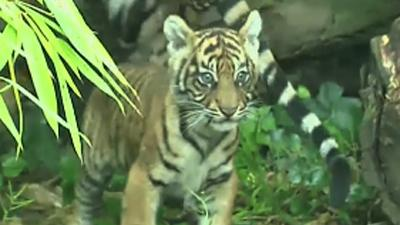 Raw: German Zoo Shows Off Rare Baby Tiger