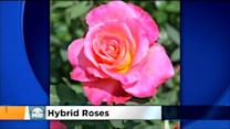 Roses: Planting, Care And Hybrids