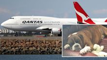 Qantas bans dog breeds from flying after multiple deaths