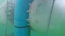 Caught on camera: Cage saves diver from shark attack