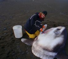 New species of sunfish discovered by scientist in New Zealand