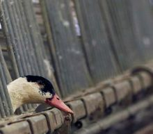 French foie gras makers say they are ready if bird flu returns