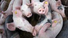 Agrarministerkonferenz: Nutztieren soll es besser gehen