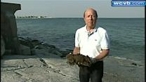Japanese seaweed infesting Mass. beaches