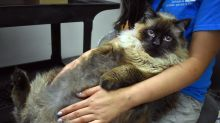 Huge Cat, Weighing 29 Pounds, Shows Up As Stray At Animal Shelter