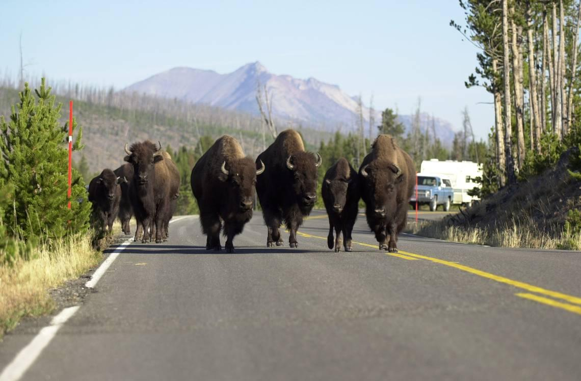 Bison gores 72-year-old visitor from California taking photo at Yellowstone, park says