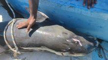 Desgarradora imagen: al menos 40 delfines mueren en área del derrame de petróleo en Mauricio
