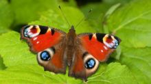 Record low number of British butterflies baffles scientists