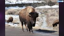 Senators Want Bison To Be National Mammal