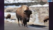 Senators Want Bison To Be National Mammal