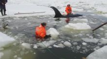 Orcas rescued after getting trapped in ice