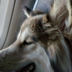 Delta Air Lines Tightens Regulations for Service and Emotional Support Animals
