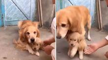 Conmovedor: así defendió a su último cachorro para que no se lo quitaran