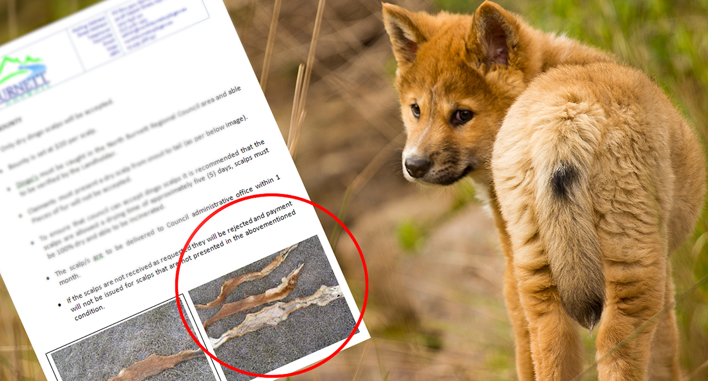 '$20 per scalp': Dingo bounty flyer sparks concern over animal's future