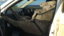 This photo of a sheep buckled up in the front seat of a car will definitely make you laugh