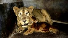 New Little Roar: Amid Covid-19 Lockdown, Assam State Zoo Welcomes Lion Cub Simba