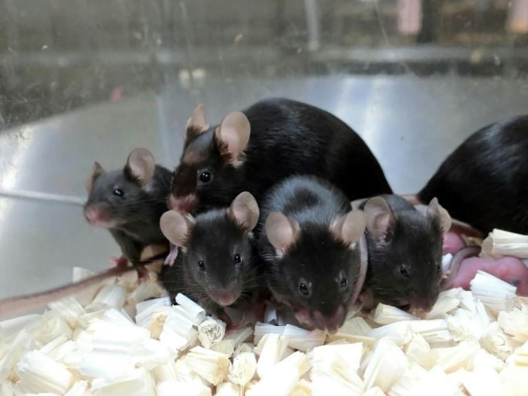 'Space pups': Mouse sperm stored on ISS produces healthy young – Yahoo News Australia