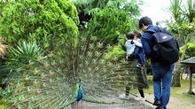 【有片】日本超霸氣孔雀 狹窄行人路開屏阻塞通道