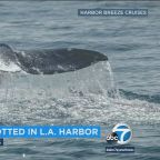 VIDEO: 3 gray whales splash around in Los Angeles Harbor shallows