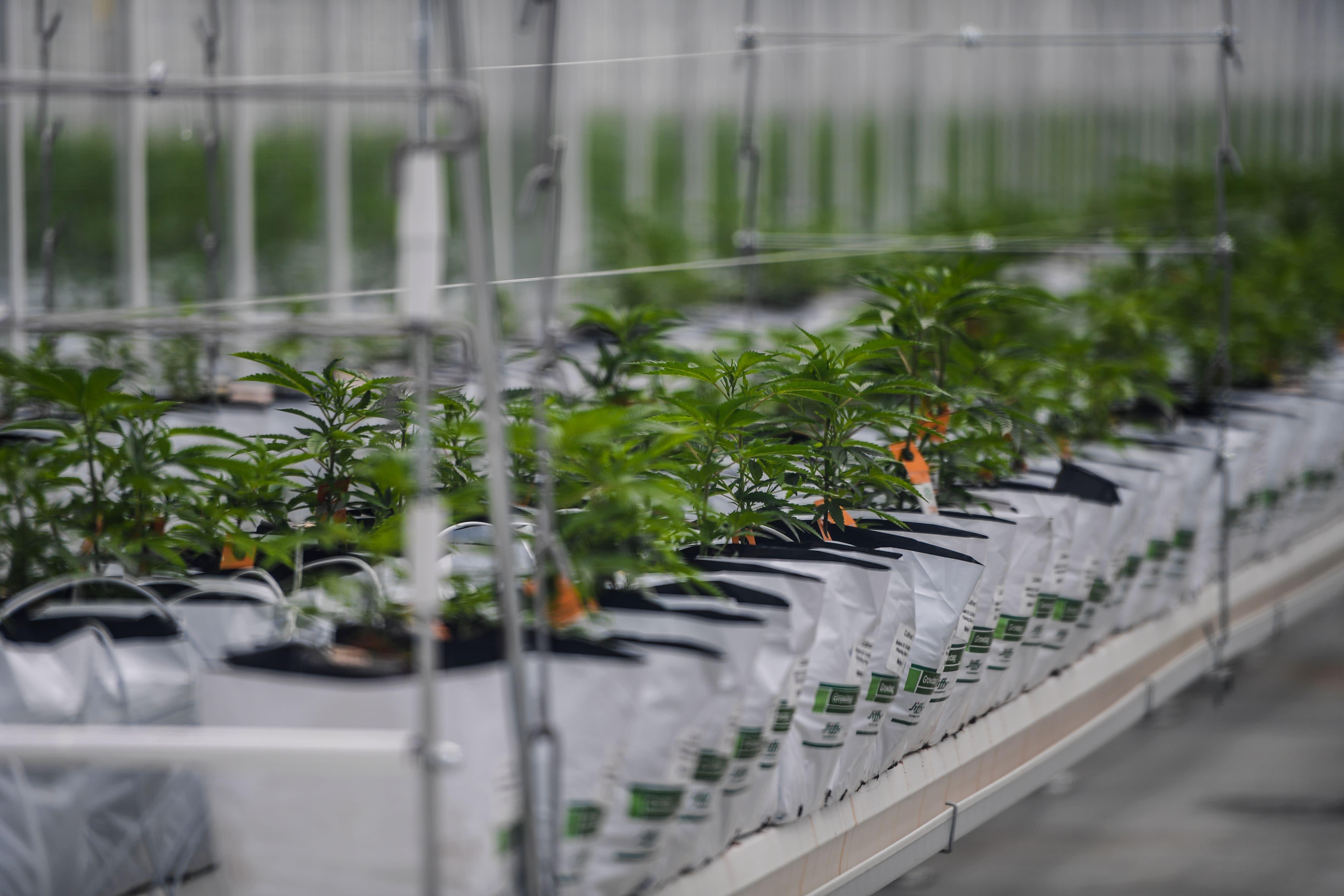 Why one investor is still bullish on Tilray as cannabis sector slumps
